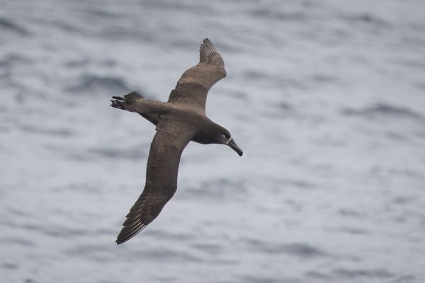 2019-04-12-black-footed-albatross-01782141CEA9-03DD-AB8D-8D7E-E9CA1BD7F5C3.jpg