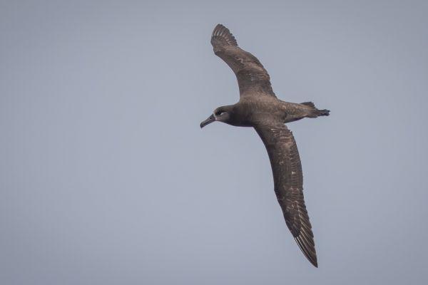 2019-04-12-black-footed-albatross-0186FD682B87-CB10-C4FD-CC3D-A7D2D815F3B8.jpg