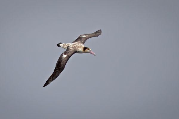 2019-04-12-short-tailed-albatross-008952451067-3027-E3B8-594B-DE263782EA54.jpg
