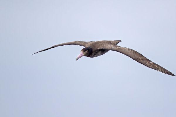 2019-04-12-short-tailed-albatross-011690A4E81F-0173-D504-E15E-1461F1CACD56.jpg