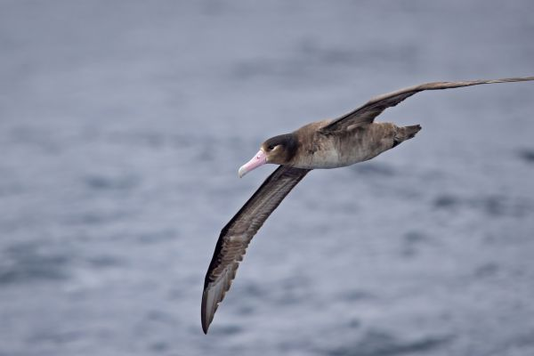 2019-04-12-short-tailed-albatross-0122C9A26F0C-7F50-51D7-66E1-94006952A373.jpg