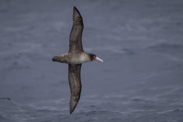 2019-04-12-short-tailed-albatross-0159EE57B143-FCF5-789E-1007-190EA7648198.jpg