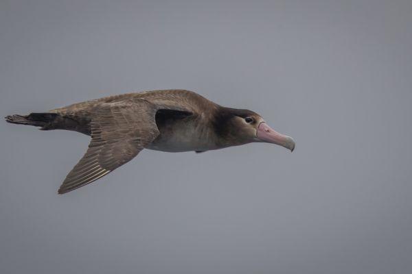 2019-04-12-short-tailed-albatross-01767DE9FF69-915D-47DE-B388-A07E5131A218.jpg