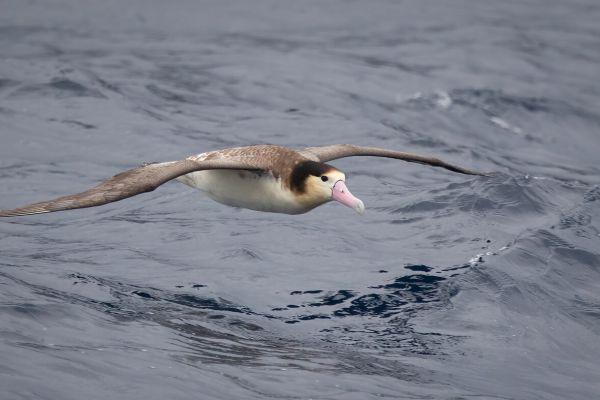 2019-04-12-short-tailed-albatross-0244366F05D6-6C19-8E8F-5D69-A0D97B578161.jpg