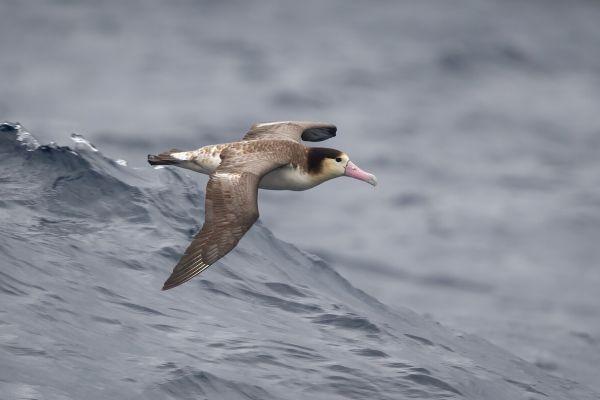 2019-04-12-short-tailed-albatross-0287-213D348C8-B249-1453-F029-E4A56CB68D3F.jpg