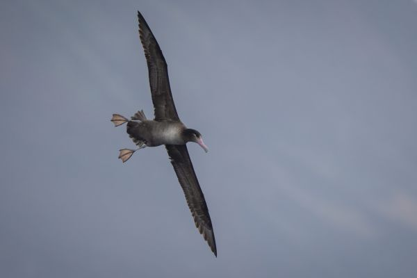 2019-04-12-short-tailed-albatross-0376170FD1A1-2FA1-981B-A8BE-78944072C3EF.jpg