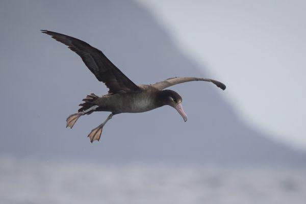 2019-04-12-short-tailed-albatross-03830F474381-943A-1441-A3B3-692C9589D847.jpg
