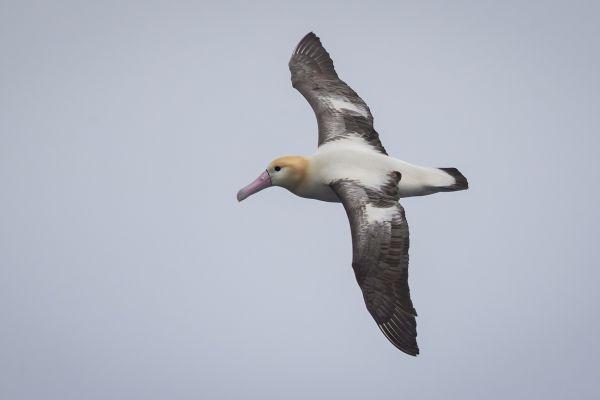 2019-04-12-short-tailed-albatross-051129A5A8F0-8457-C7CE-95DF-1BF6CD01E146.jpg