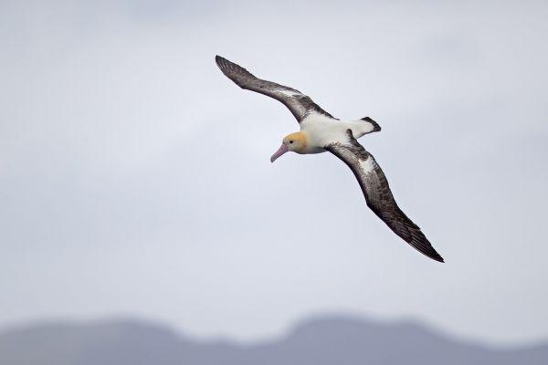 2019-04-12-short-tailed-albatross-0522D8AAEF52-A466-A0F9-9E93-93AA996A5D01.jpg