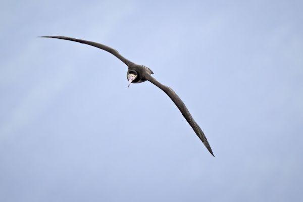 2019-04-12-short-tailed-albatross-05962C23DEB3-A616-BD33-DD65-A0C935680460.jpg