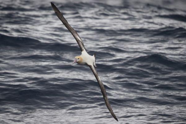 2019-04-12-short-tailed-albatross-0637C168CD5E-EAD7-0A1C-CE7B-0D3172179AAE.jpg