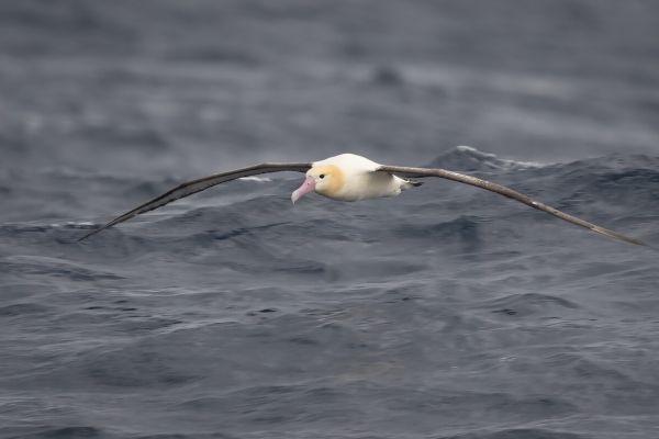 2019-04-12-short-tailed-albatross-0660BC2093EF-7E87-E595-F446-D88174DD0E53.jpg