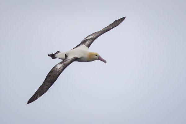 2019-04-12-short-tailed-albatross-0672CCA3490E-8812-7A80-56AC-76912CC49E24.jpg