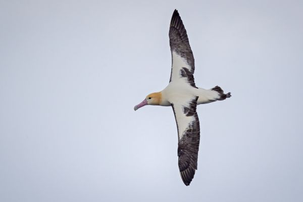 2019-04-12-short-tailed-albatross-07044438A4E3-C376-373A-E262-AFC132A51B13.jpg