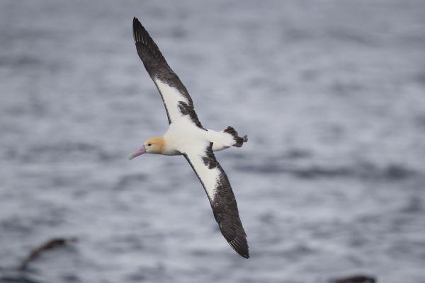 2019-04-12-short-tailed-albatross-071237F117F6-524F-5741-6B06-95825DD19E34.jpg