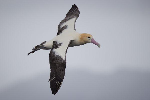 2019-04-12-short-tailed-albatross-07499BC1C57C-95A3-B542-7EA9-19F03786C2FF.jpg