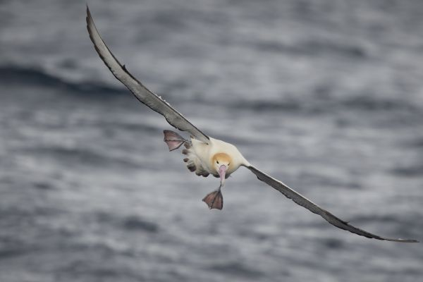 2019-04-12-short-tailed-albatross-0775493A2CFF-DE50-5E3E-C4A6-4D1E9035EEB5.jpg