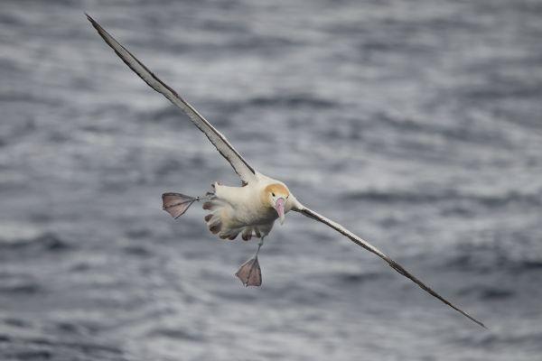 2019-04-12-short-tailed-albatross-0777B563F4B9-CA3B-890A-7E60-87EA81759221.jpg