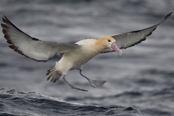 2019-04-12-short-tailed-albatross-0874D85EBA78-FD00-1B25-6D42-4E70E525EA5D.jpg