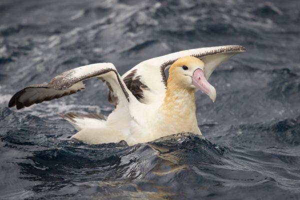 2019-04-12-short-tailed-albatross-0963F67843B1-78ED-D77B-6496-A0DA75C1F706.jpg