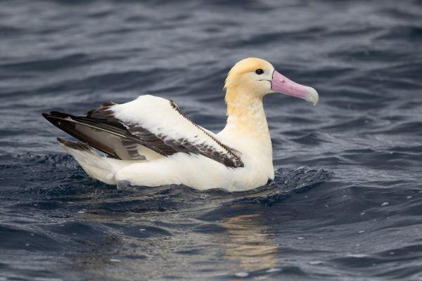 2019-04-12-short-tailed-albatross-09734E2595B4-67E9-0FF8-D9D1-A6837329F434.jpg
