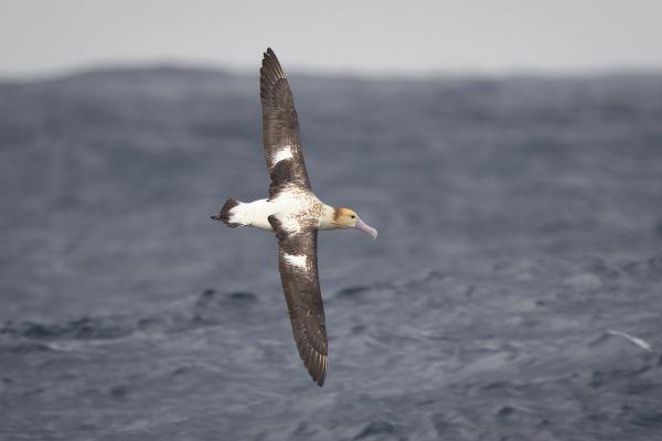 2019-04-12-short-tailed-albatross-1020A443D0E5-97D3-97E5-BD33-A8563D2C66DF.jpg