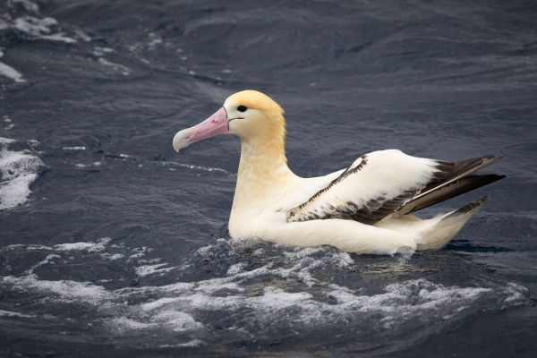 2019-04-12-short-tailed-albatross-108848EA6178-6BF6-A08D-8A15-5F21D336A262.jpg