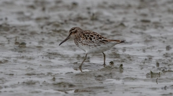 <center>Broad-billed Sandpiper<br><i>Calidris falcinellus</i><br>Lauwersmeer - Netherlands<br> 17-05-2019</center>
