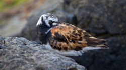 <center>Ruddy Turnstone<br><i>Arenaria interpres</i><br>Velsen - Netherlands<br> 07-08-2019</center>
