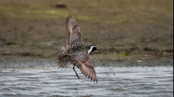 <center>Pacific Golden Plover<br><i>Pluvialis fulva</i><br>The Netherlands<br> 29-06-2008</center>
