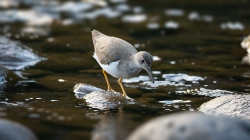 <center>Spotted Sandpiper<br><i>Actitis macularius</i><br>Costa Rica<br>24-02-2014</center>