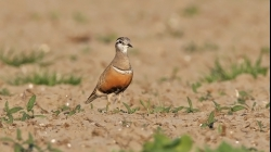 <center>Eurasian Dotterel<br><i>Charadrius morinellus</i><br>The Netherlands<br> 10-05-2008</center>
