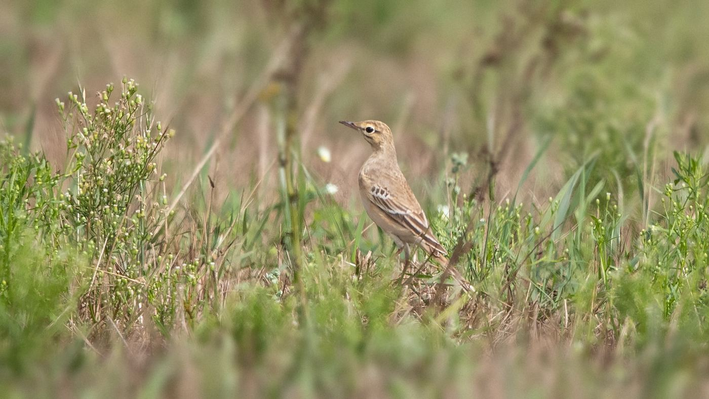 Tawny Pipit - Anthus campestris - Migration site Brobbelbies