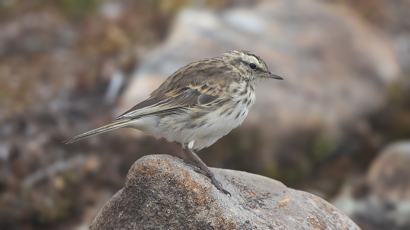 New Zealand Pipit - Anthus novaeseelandiae - Arthur's Pass