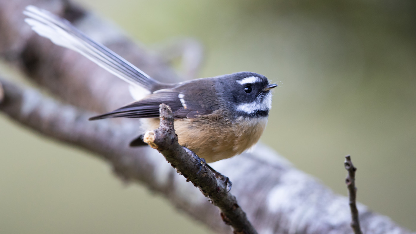 New Zealand Fantail - Rhipidura fuliginosa - Arthur's Pass