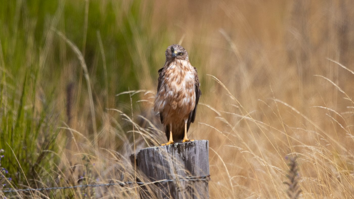 Swamp Harrier - Circus approximans - Twizel