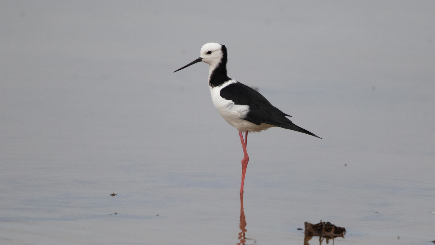 Pied Stilt - Himantopus leucocephalus - Nugget Point