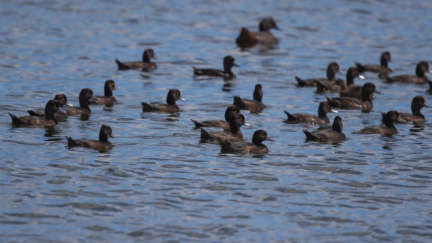 New Zealand Scaup - Aythya novaeseelandiae - Otaki
