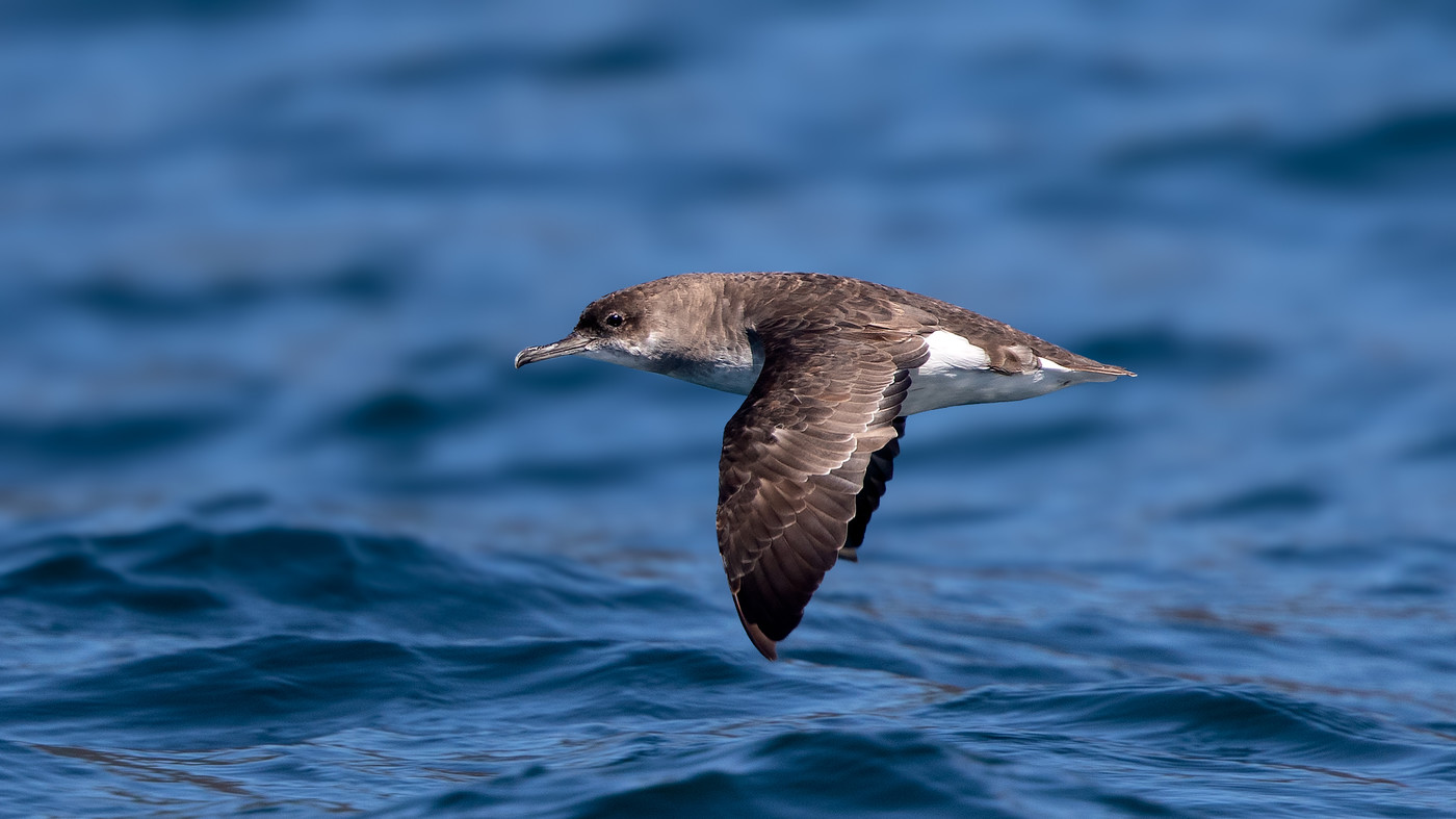 Fluttering Shearwater - Puffinus gavia - Malborough Sound