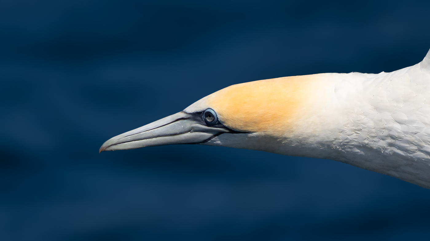 Australasian Gannet - Morus serrator - Malborough Sound