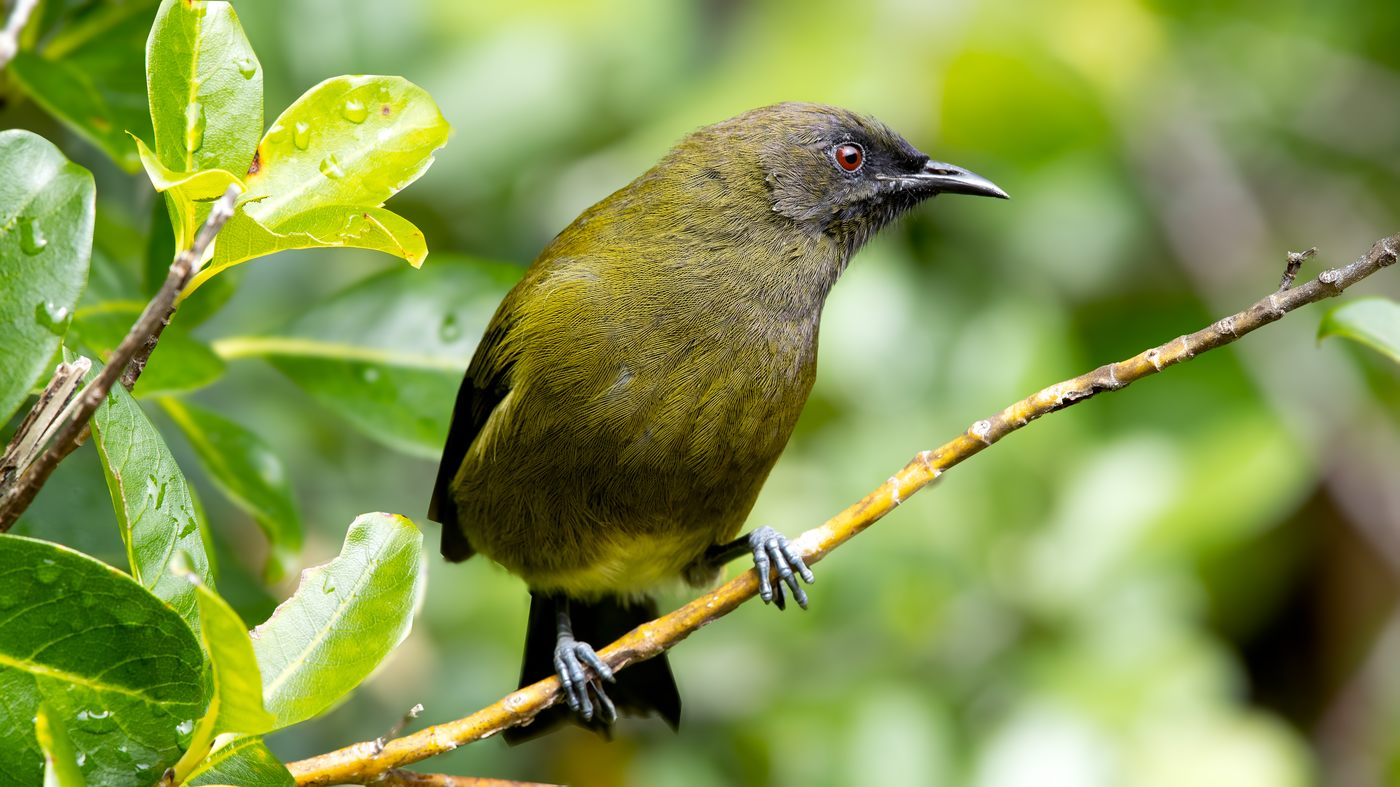 New Zealand Bellbird - Anthornis melanura - Tiritiri Island